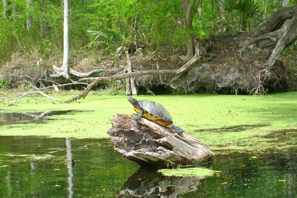 Turtle on Santa Fe River kayak trip